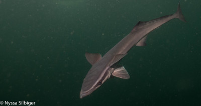 Remora at Gray's Reef National Marine Sanctuary